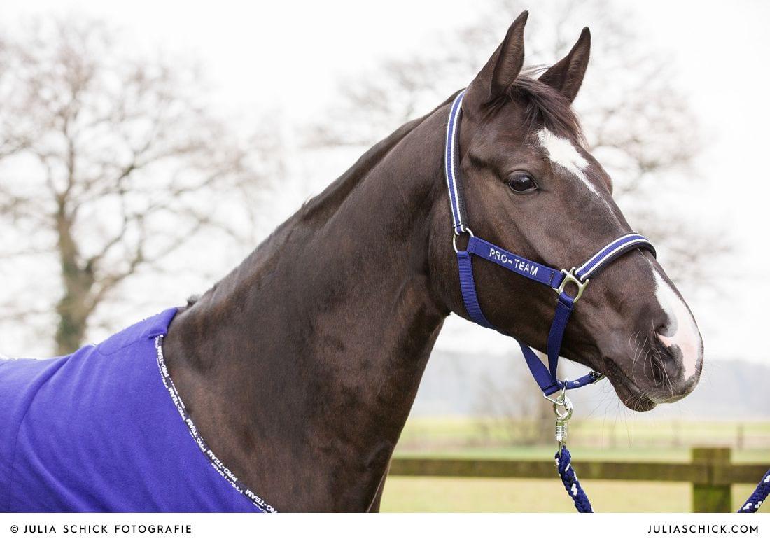 Pferd Darlene mit blauem Halfter aus der Kollektion HKM Pro Team Herbst/Winter 2014/2015 auf Vechtehof Egbers
