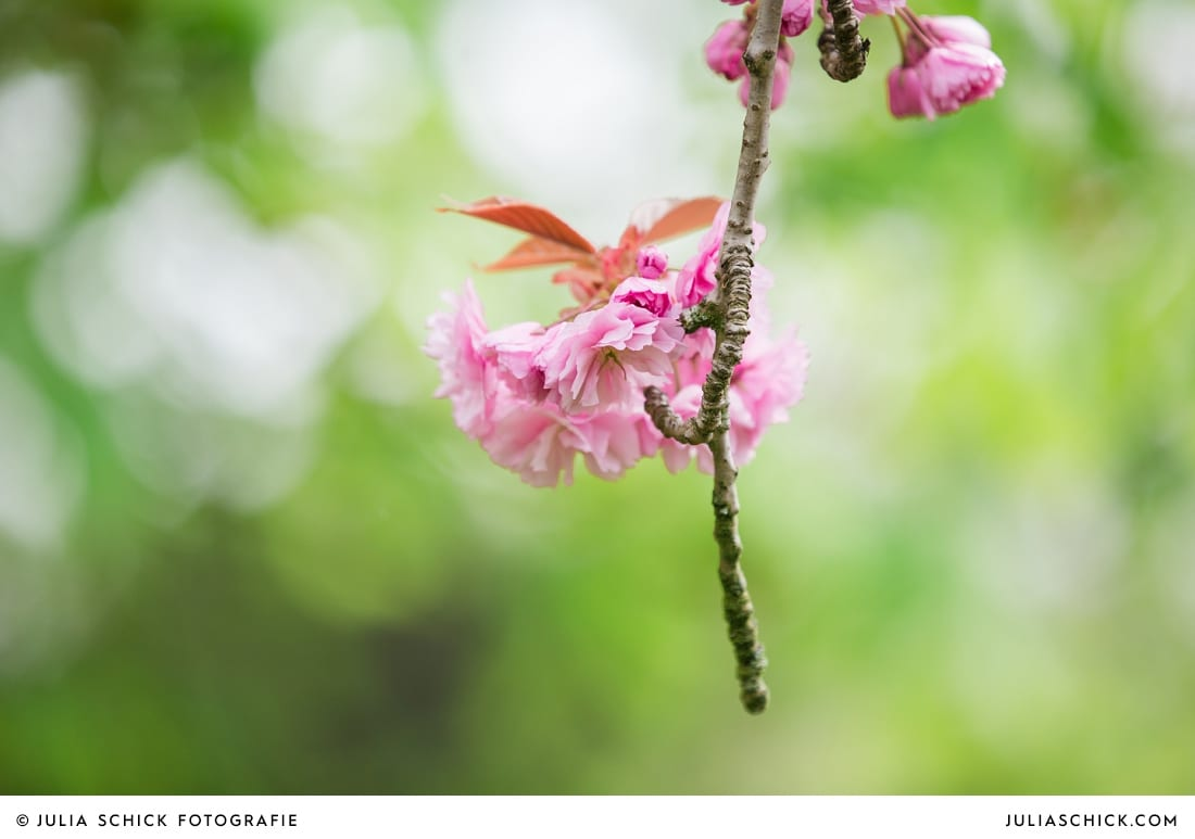 Kirschblüte auf Burg Hülshoff